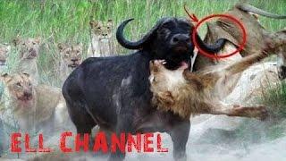 5 ცხოველთა შეშლილი ბრძოლა ნაწილი #2 / Crazy Animal Fight Caught On Camera PT.2