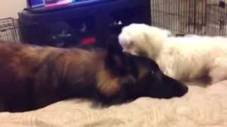 Cute Maltese Little Puppy Licking A Belgium Shepherd's Ear.