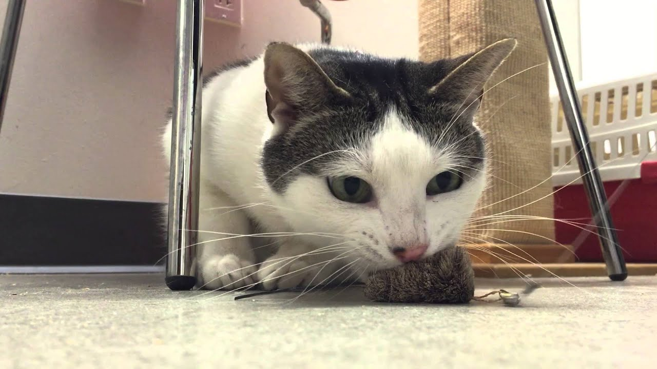 Help Find a Home for ASPCA Adoptable Cat Mauro