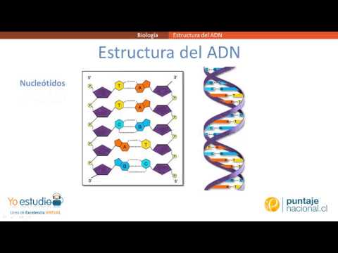 Estructura Del Adn Youtube