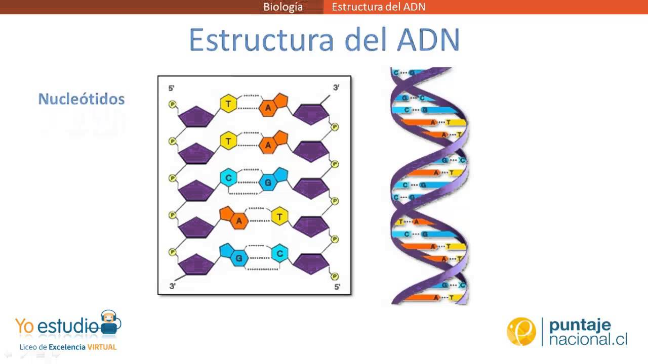 Estructura del ADN - YouTube