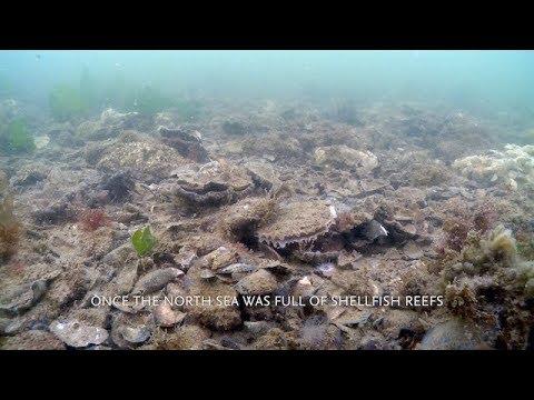 Recovery of shellfish reefs