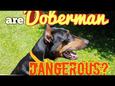 Are Doberman Pinschers Dangerous Dogs or Safe for Families?