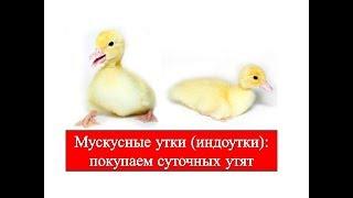 Мускусные утки (индоутки): Вы купили суточных утят