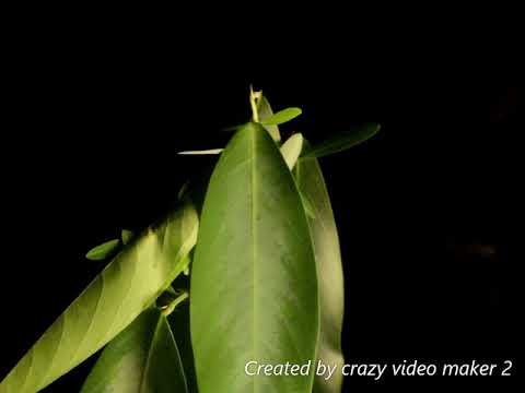 Telegraph plant dancing to 3 types of music