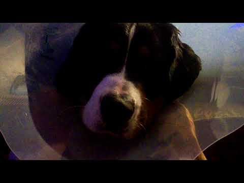 Max our Bernese Mountain Dog is home after being neutered