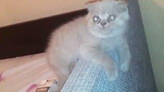 Британский вислоухий котенок