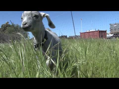 City Grazing in San Francisco Adds Kid Goats to Herd
