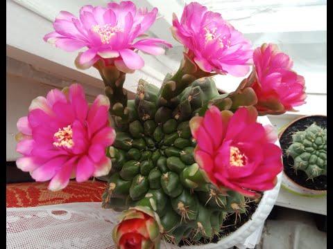 Мои цветущие кактусы | Самые неприхотливые растения