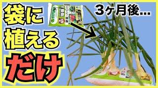 【家庭菜園初心者向け】培養土の袋に植えるだけのホーム玉ねぎの簡単な育て方【野菜の袋栽培】