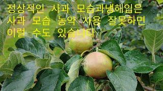 #사과나무 냉해 모습/ 냉해 모습과. 정상적인  사과 …