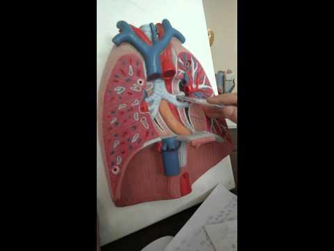 [Giải Phẫu] hệ hô hấp- phổi