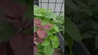 Vườn rau nhà chị Hồng Vinhome
