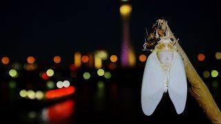 アブラゼミの羽化の映像です。 東京浅草の隅田公園は、セミが非常に多く...