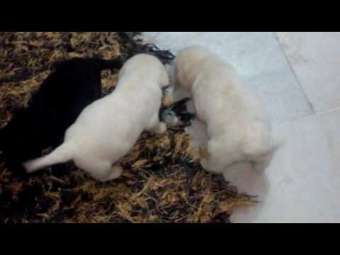 Very Small Labrador Puppies For Sale In Delhi 9999039993 Puppies