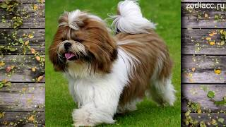 Самые маленькие породы собак | Зодиак