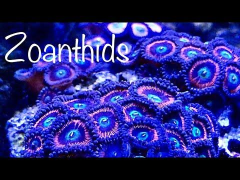 My rescue zoa garden reef tank video green hair algae  along with blue clove polyps