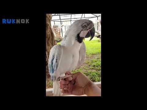 นกแก้วมาคอร์สีขาว white