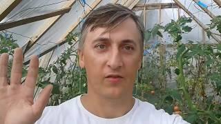 Удаление верхушек у томатов в конце лета