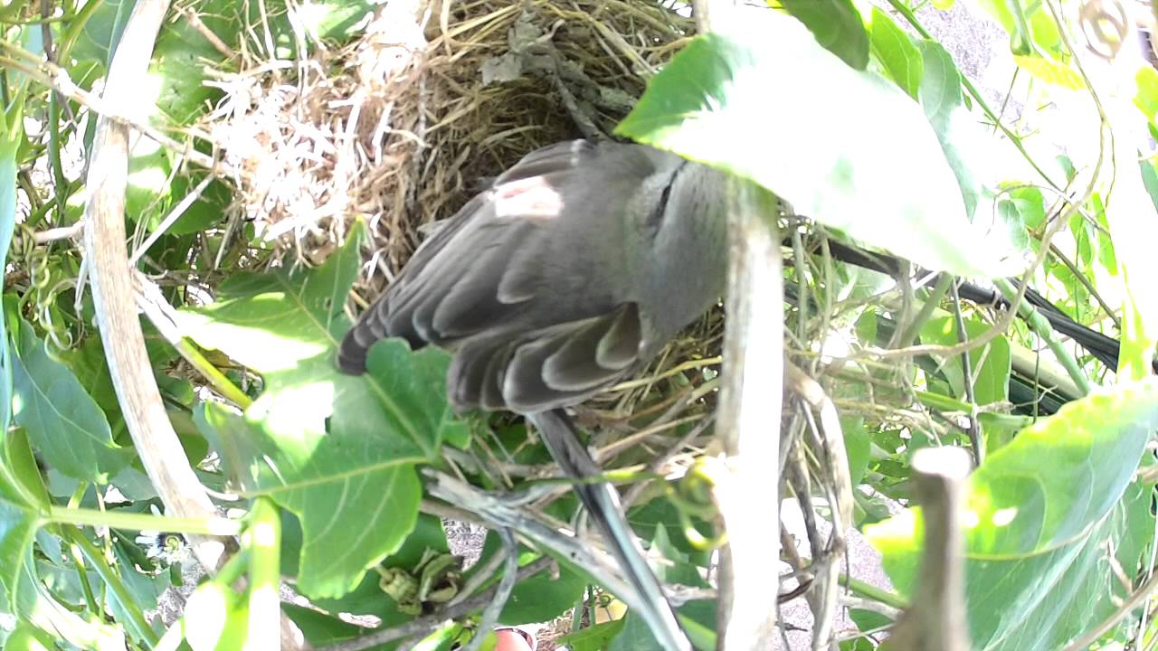 l 39 oiseau fait son nid bird nesting youtube. Black Bedroom Furniture Sets. Home Design Ideas