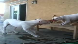 Bulldog Lovers American Bulldog Vs Dogo Argentino Tug Of War