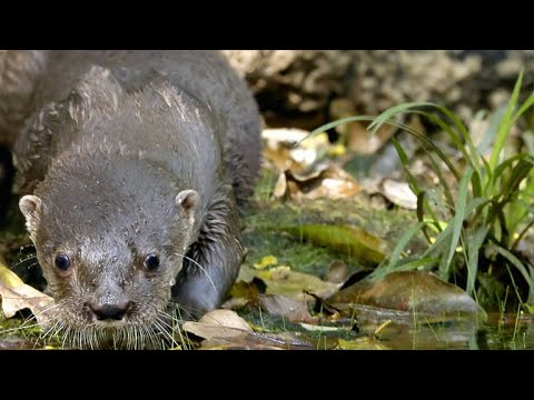 The Diet Of The Neotropical Otter Is Amazingly Broad