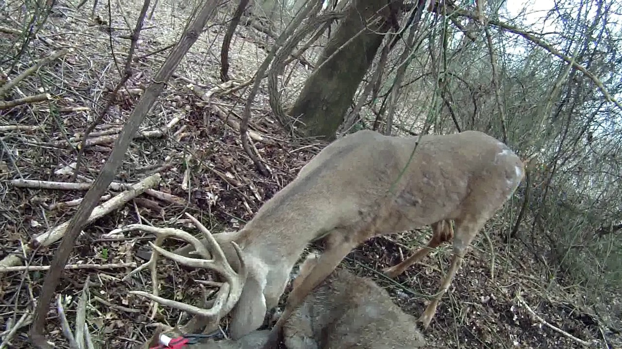 Whitetail Deer Rescue / Shed Hunting