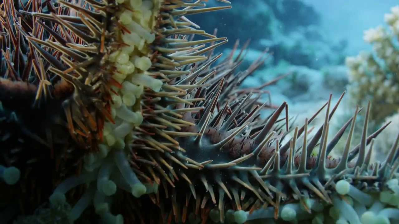 Deadly Starfish Eats Coral: Crown of Thorns Starfish (COTS ...