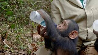 Kabi The Chimp Gets A New Life With New Friends At JGI S Tchimpounga Sanctuary