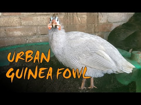 Keeping Guinea Fowl - 3 Tips for Urban Guinea Fowl
