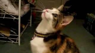 Cat Meows Nonstop thumbnail