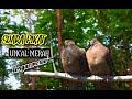 Suara Pikat Uncal Merah Burung Tegacor   Mp3 - Mp4 Download