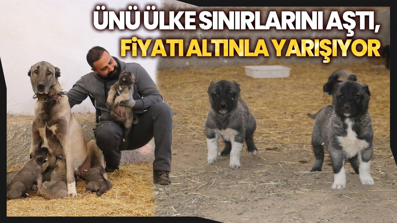 Sivas'ın Dünyaca Ünlü Kangal Köpeklerinin Fiyatı Adeta Altınla Yarışıyor
