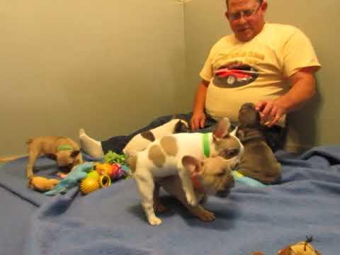 Tiffany Puppies ~ French Bulldog Puppies ~ Oregon French Bulldog Breeders