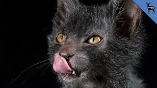Repeat youtube video Breeders Develop Werewolf Cat