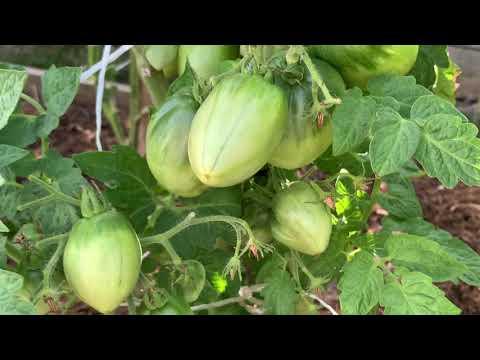 Обзор сортов томатов. Часть 1.