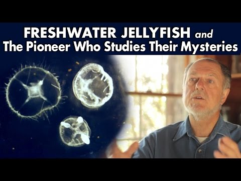 Freshwater Jellyfish And The Pioneer Who Studies Their Mysteries