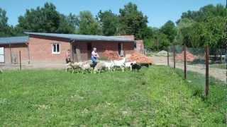 Щенки келпи.MP4(Краснодарский край. Щенкам келпи почти 8 мес. Проверка пастушьих рабочих качеств., 2012-06-20T18:47:58.000Z)