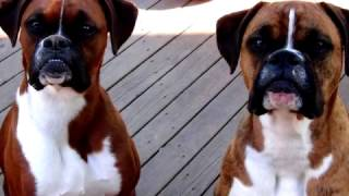 видео Боксёр — щенок до старости