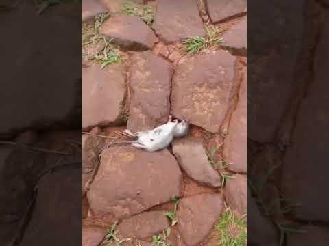 Videos chistosos paraguayos - muerte de stuart!!