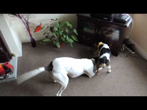 Lilly our English Pointer and a Jack Russell we found