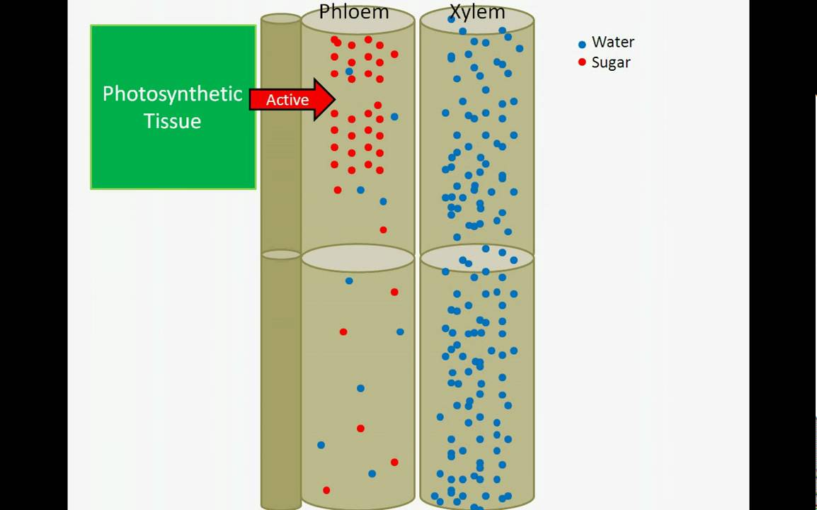 Sugar Transport Pressure Flow Hypothesis Youtube