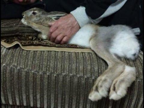 Дружба с зайцем. Ласковый зайка. Добрый зайка. Заяц русак дома. Домашние животные. Дикие животные.
