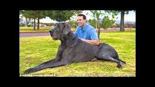 Top 10 der größten Hunde der Welt