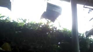 Download Video CIBLEK NEMBAK SUARA ASLI (short video) MP3 3GP MP4