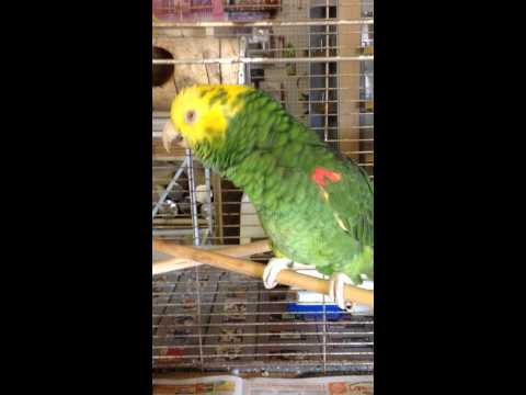 Yellow head amazon parrot talking