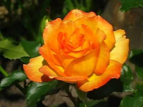 Роза Сахара - YouTube