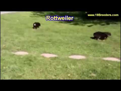 Rottweiler, Puppies, Dogs, For Sale, In Miami, Florida, FL, 19Breeders, Tallahassee, Gainesville