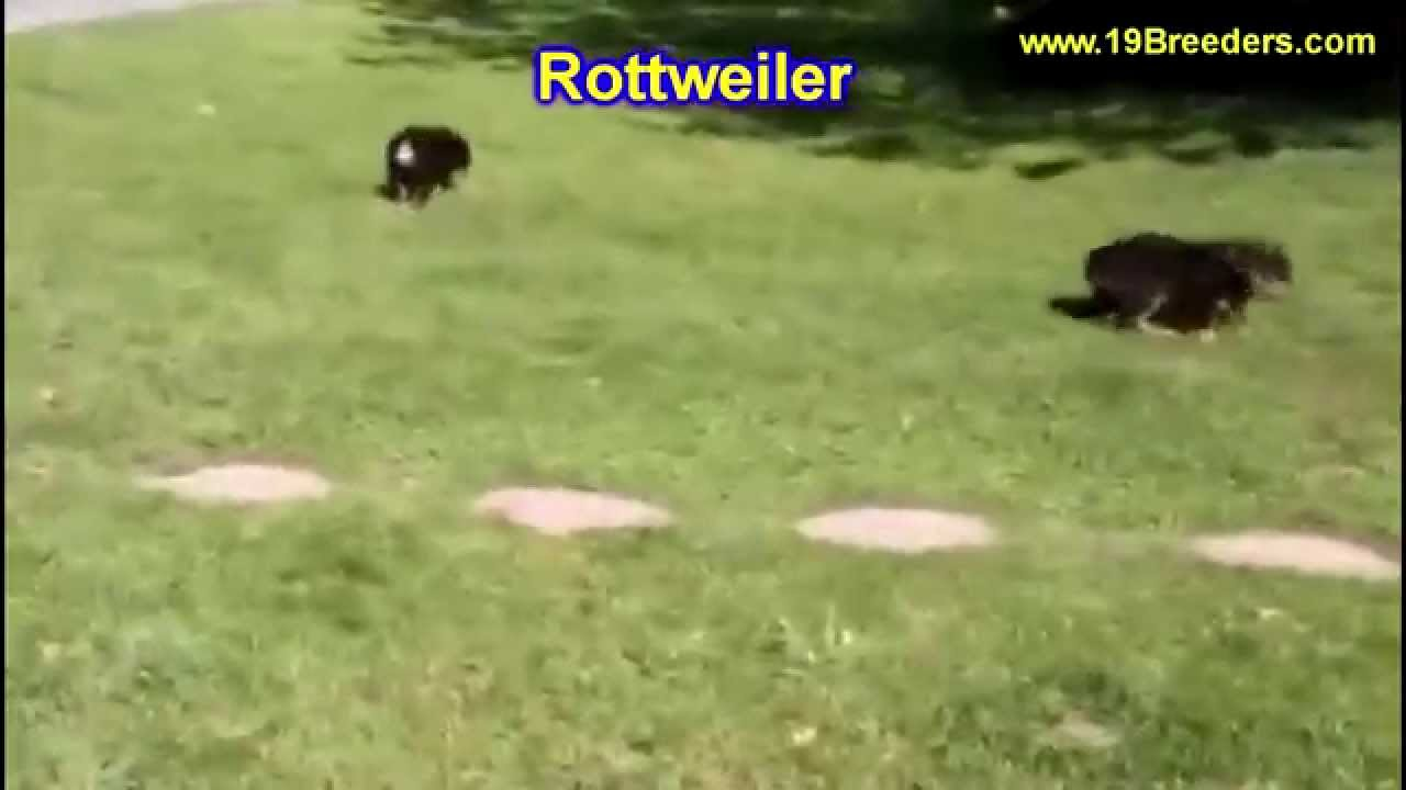 Rottweiler Puppies Dogs For Sale In Miami Florida Fl