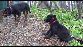 Black leopard and dog. A Rottweiler raises a black panther kitten. Funny and cute animals.